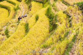 farmers at rice field