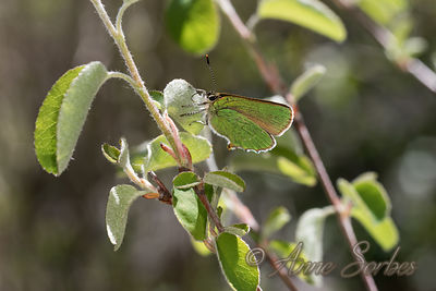 Green Hairstreak (Callophrys rubi) Photos