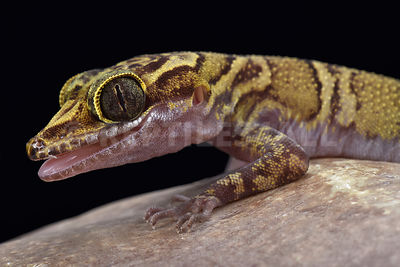 Chanhomae's bowfingered gecko (Cyrtodactylus chanhomae)  photos