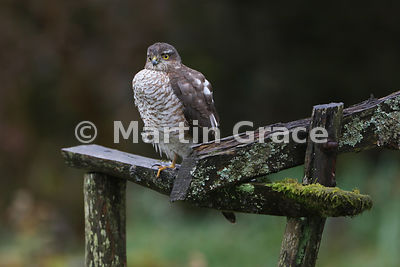 Juvenile male Eurasian Sparrowhawk (Accipiter nisus) with a hugely full crop, resting on one leg immediately after devouring a tit, Lyth Valley, Kendal, Cumbria, England