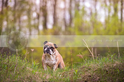 worried brindle and white dog with wrinkles staring from ridge