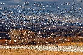733 Snow Geese at the Bosque
