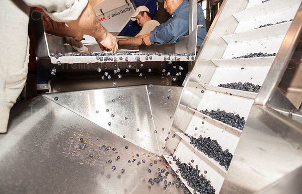 Sorting wine grapes during harvest