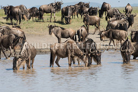 wildebeest_lake_crossing_sequence_02242015-7