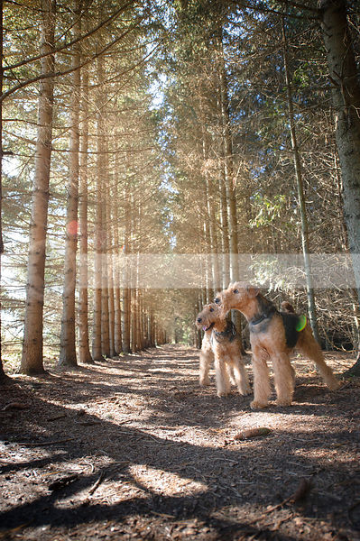 two groomed airedale dogs standing in pine trees with sunflare