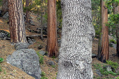 Mixed forest of incense-cedar (Libocedrus decurrens), Ponderosa Pine, and California Black Oak, Yosemite National Park, California