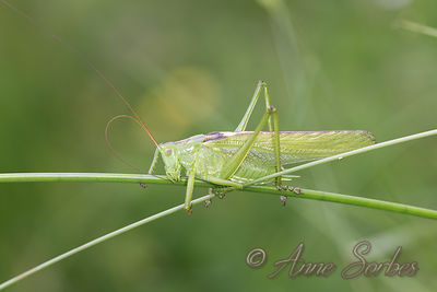 Orthoptera (Grasshoppers and crickets) photos