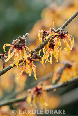 Hamamelis x intermedia 'Vesna'. Sir Harold Hillier Gardens/Hampshire County Council, Romsey, Hants, UK