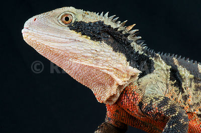 Australian water dragon (Intellagama lesueurii) photos