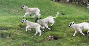 Young lambs playing out on grass. North Yorkshire, UK.