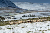Shepherd taking sheep through a gate, moving them with a sheepdog in the snow, Upper Teesdale, UK.