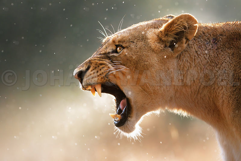 Lioness yawning in rain