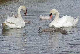 May - Mute Swan family