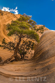 Ponderosa Pine and Sculpted Rocks at Kasha-Katuwe Tent Rocks National Monument