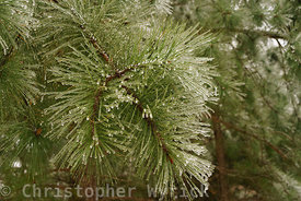 Pretty image of a frozen pine tree.  The details are gorgeous and make for a beautiful print with that Christmas free.