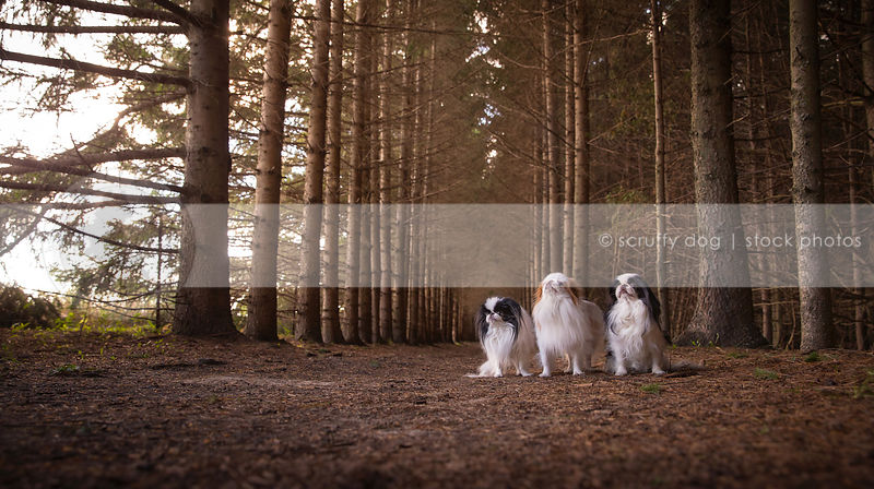 pack of three small longhaired dogs in forest of trees