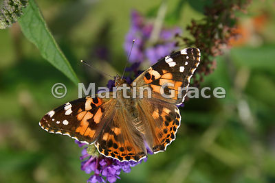 Underside of Painted Lady butterfly (Vanessa cardui) on a garden Buddleia (Buddleja) davidii, Cumbria, England