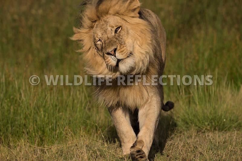 lion_male_walk_grass_02202015-7