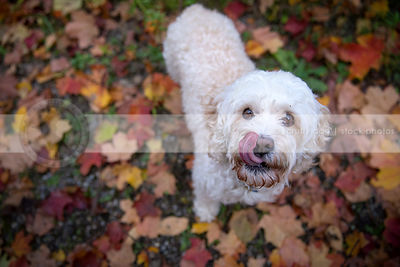 cute small dog licking with tongue in autumn leaves