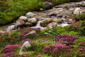An alpine stream flowing in amongst the alpine flowers near Whistler BC. Photo: Mitch WInton - coastphoto.com