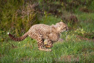 Young cheetah running