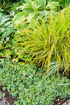 The Vean Garden is predominantly white, blue and gold including variegated ivies, golden Carex elata 'Aurea', variegated comfrey and silvery Brunnera macrophylla 'Jack Frost'. Bosvigo, Truro, Cornwall, UK