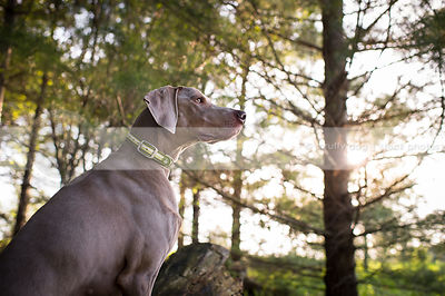 portrait of grey gundog at attention in pines with sunflare