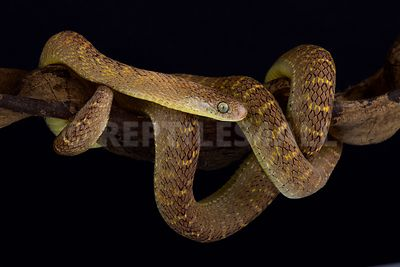 Central African Egg-eating Snake (Dasypeltis fasciata) photos