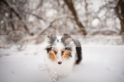 tricolor sheltie dog running in winter setting