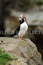 Horned Puffin Mouthful Fish 5