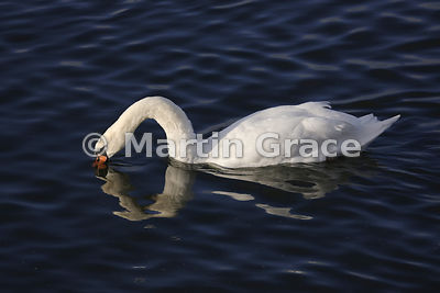 Mute Swan (Cygnus olor), Dumfries & Galloway, Scotland