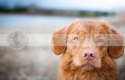 headshot of wet toller dog staring with minimal background