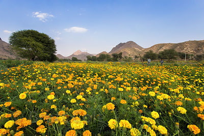 Marigold flower field near Amba village, Rajasthan, India