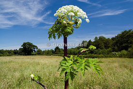 Giant Hogweed Heracleum mantegazzianum near Clytha estate usk valley walk monmouthshire wales