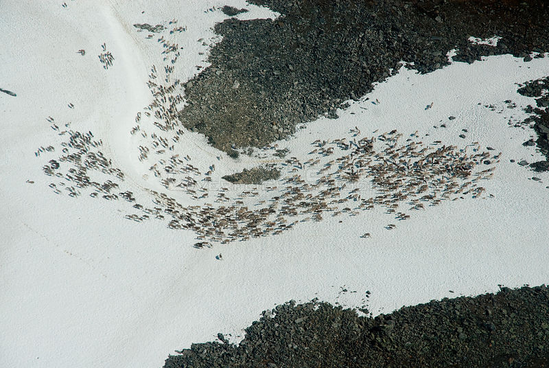 Aerial view of Reindeer (Rangifer tarandus) herd resting on patches of snow to escape mosquitos. Lapland, Finland. July 2007