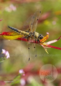 Four Spotted Chaser: