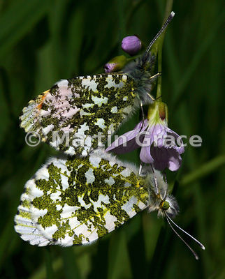 Pair of Orange Tip butterflies (Anthocharis cardamines) mating on Lady's Smock (Cuckoo Flower) (Cardamine pratensis), Cumbria, England