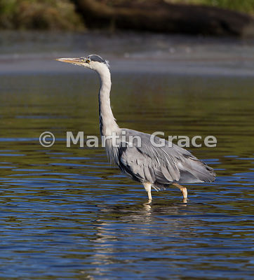 Grey Heron (Ardea cinerea) wading through water at Leighton Moss (RSPB), Carnforth, Lancashire, United Kingdom