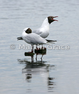 Two Black-Headed Gulls (Larus ridibundus, Chroicocephalus ridibundus) - one displaying, Leighton Moss, Lancashire, England