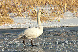 trumpeter_swan_walking_ice20120101_0007