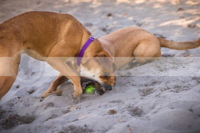two red cross breed dogs fighting for ball in sand