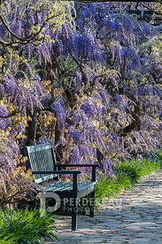 wooden bench backed by wisteria sinensis