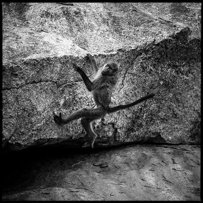 4065-Baboon_climbing_on_a_rock_Laurent_Baheux