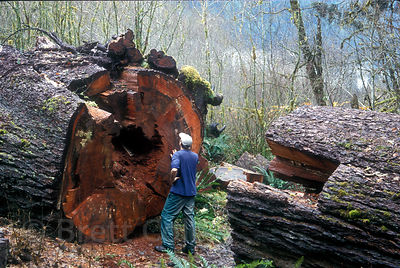 The photographer next to a huge fallen Douglas-fir along the Hoh River, Olympic Rainforest, Washington. This 9-foot diameter tree is likely 6-800 years old.
