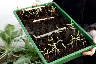 Tomato seedlings grown together before seperating them
