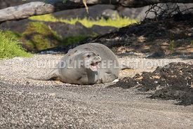 hawaiian_monk_seal_big_island_02062015-42