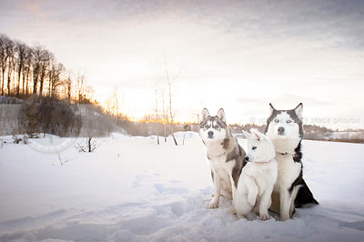 arctic breeds photos