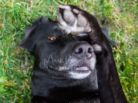 Close-up of Senior Black Lab Lying on Grass with Paw over Eye