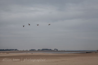 Geese flying over the beach on a calm, grey day