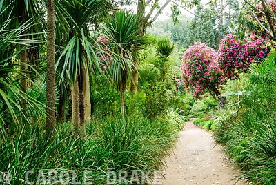 Tall cordylines and deep pink rhododendrons line the jungle ride, underplanted with other lush plants. Abbotsbury Subtropical Gardens, Abbotsbury, nr Weymouth, Dorset, UK